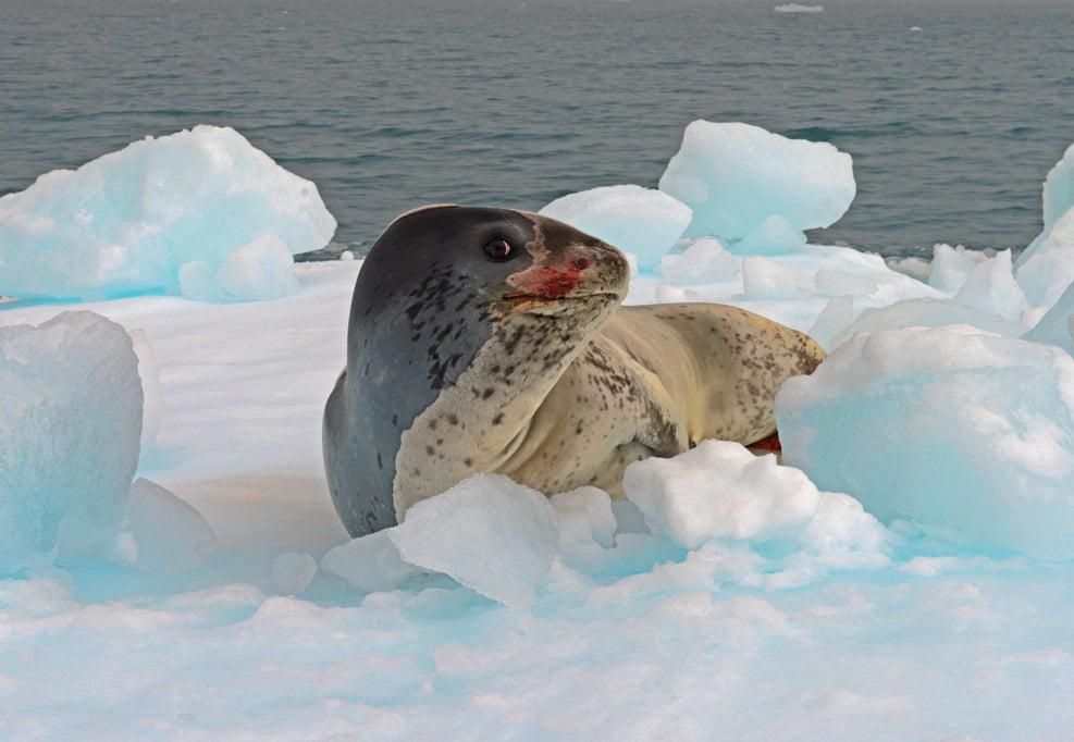 A foca leopardo e um predador que impoe respeito.