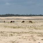 As cabras pastam livremente sobre a vegetação fixadora das Dunas do Peba, na APA de Piaçabuçu. A sede do Ibama fica 500 metros à direita...