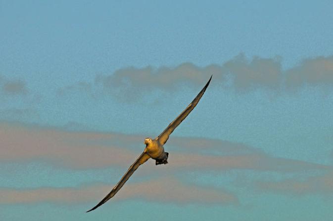 Viagem à Antártica: Ushuaia, Rei George, Ilhas Argentinas, imagem de um albatroz errante em pleno voo.