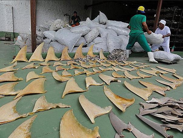 Matança de tubarões no Brasil, imagem de barbatanas de tubarão secando ao sol