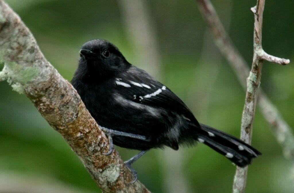 Formigueiro do litoral, imagem do pássaro Formigueiro-do-litoral
