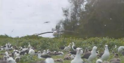 Atol de Midway, imagem um atobá em voo no atol de Midway