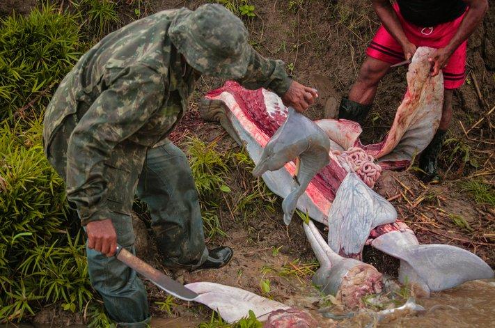 Matança de botos na amazônia, imagem de boto amazônico esquartejado