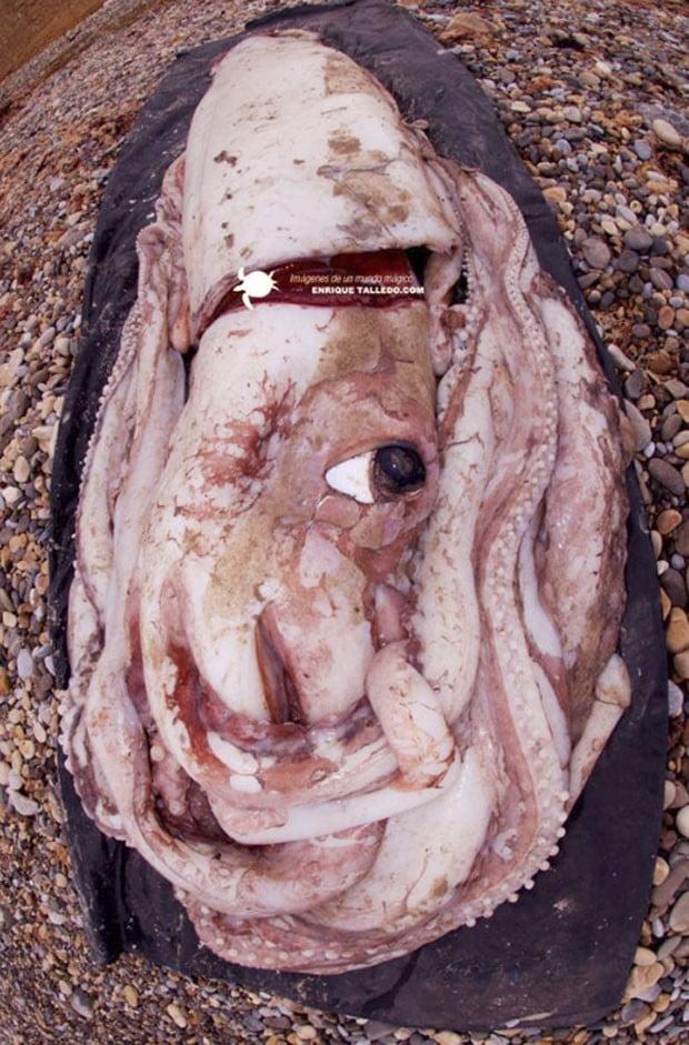 Carcaça de lula gigante atrai curiosos em praia na Espanha