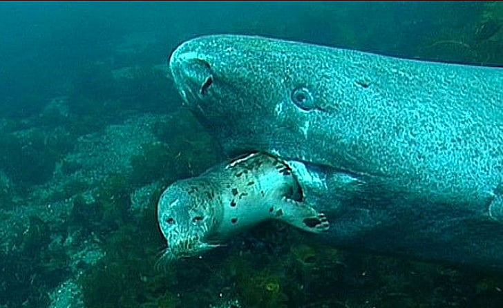 imagem de um Tubarão Greenland engolindo um filhote de foca