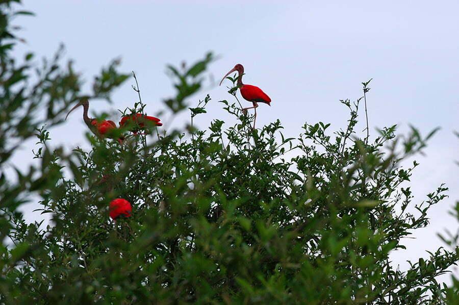 imagem de guarás na copa de manguezal