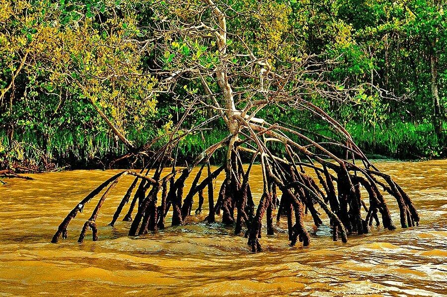 A importância dos manguezais, imagem de raiz de manguezal