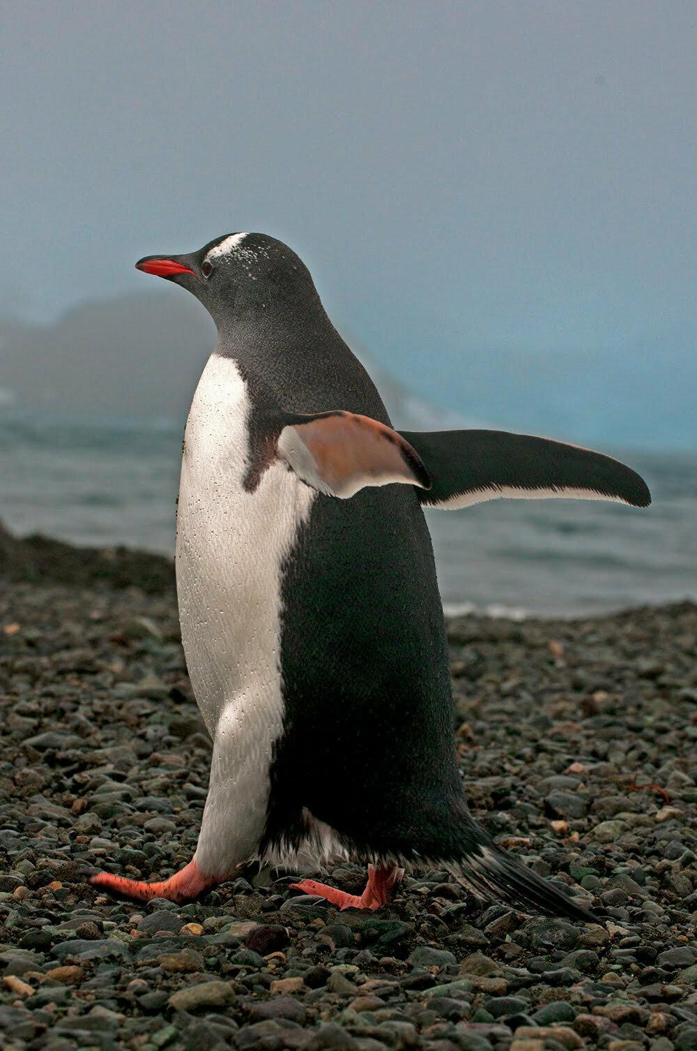 Pinguim bebê, imagem de um pinguim