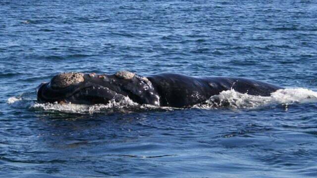 Baleias desaparecem misteriosamente no Atlântico Norte