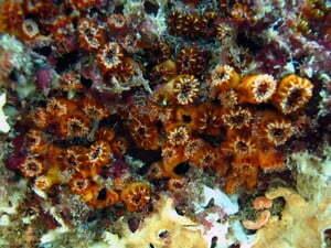 Espécies invasoras: coral sol, imagem submarina do coral sol