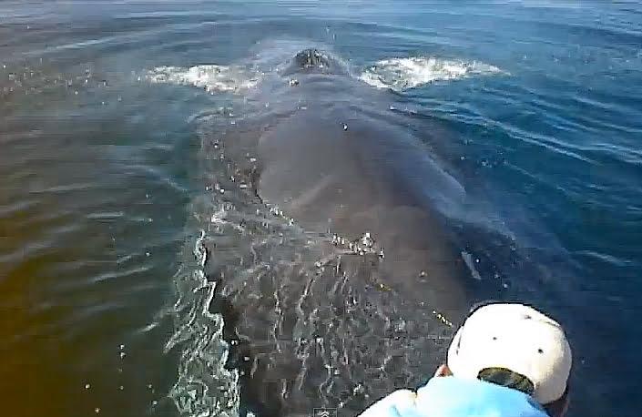 homem realiza salvamento de baleia jubarte