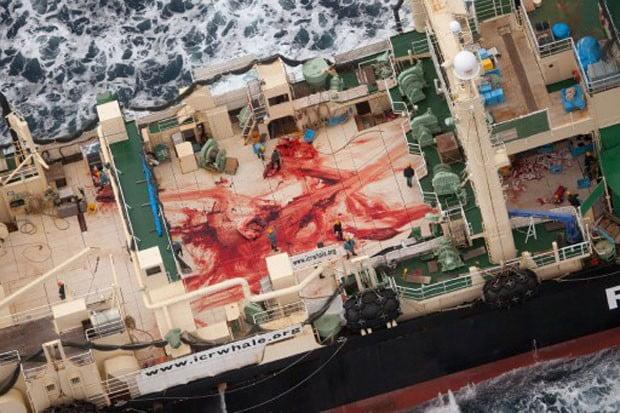 Outra imagem feita do interior do navio japonês mostra sangue que seria das baleias capturadas no Oceano Antártico (Foto: Tim Watters/Sea Shepherd/AFP)