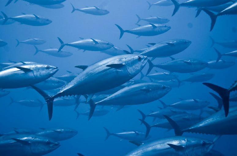 Pesca do Atum no Brasil