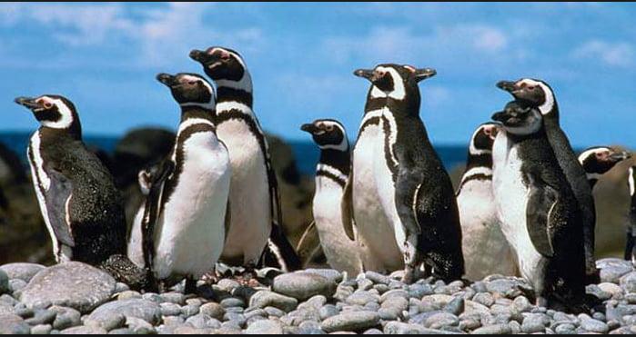Pinguins-de-magalhães, imagem de Pinguins-de-magalhães