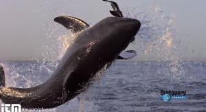 Tubarão-branco: a fantástica habilidade deste predador