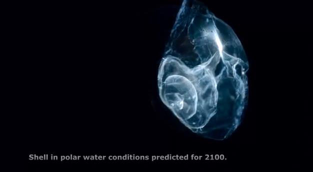 Acidificação dos Oceanos,Imagem microscópica do Plancton Terrapod