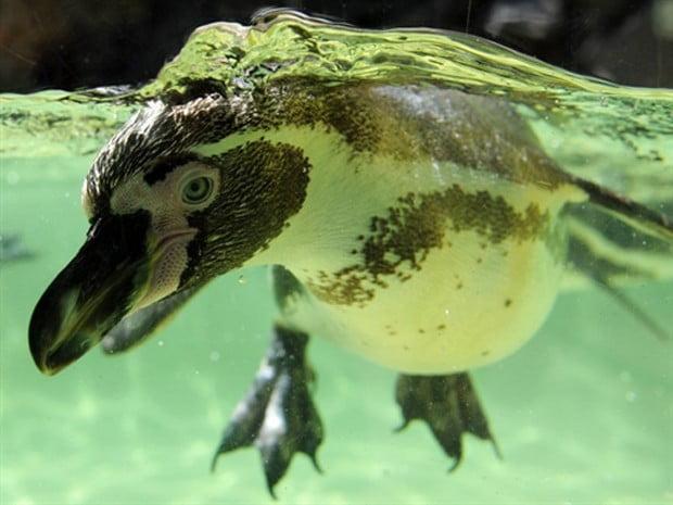 Pinguins ameaçados de extinção, imagem de pinguim de humbolt