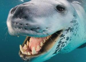 Fotógrafo da National Geographic encara uma mortal foca-leopardo