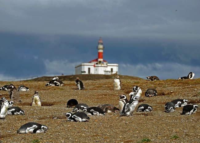 Pinguins de Magalhães, imagem da ilha magdalena
