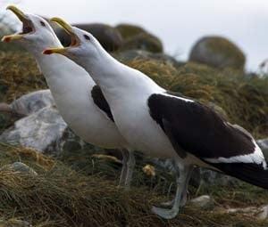 Pinguins de Magalhães, imagem da ilha madalena e gaivotas