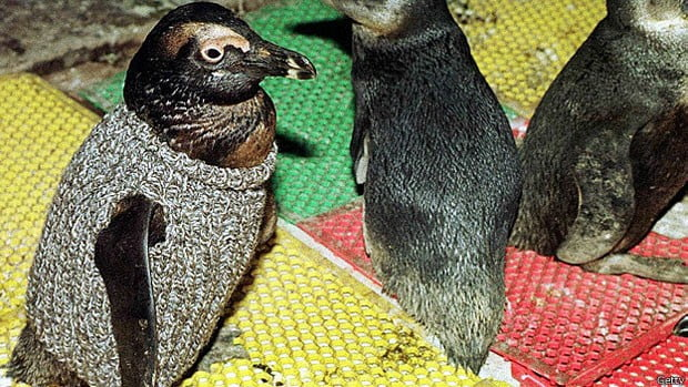 Salvando pinguins, imagem de pinguins com minissuéteres