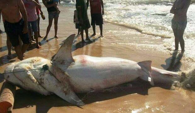 """Biólogo diz ser """"normal"""" a presença de tubarões no litoral de Alagoas"""