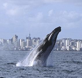 Baleias jubartes,imagem de baleia jubarte