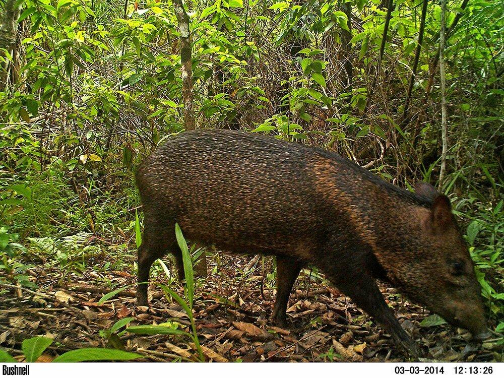 RPPN Salto Morato, Reserva Particular do Patrimônio Natural Salto Morato, imagem de cateto-