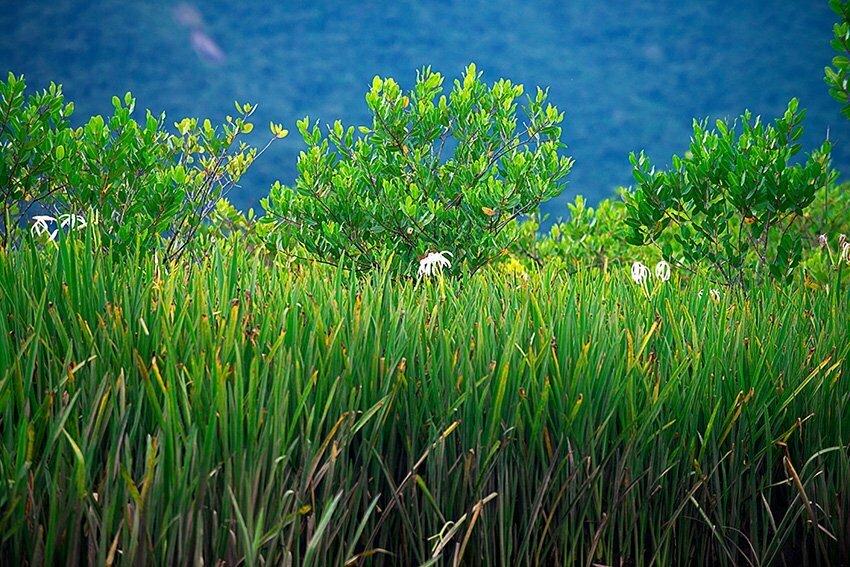 Litoral do Paraná em fotos,flores do manguezal