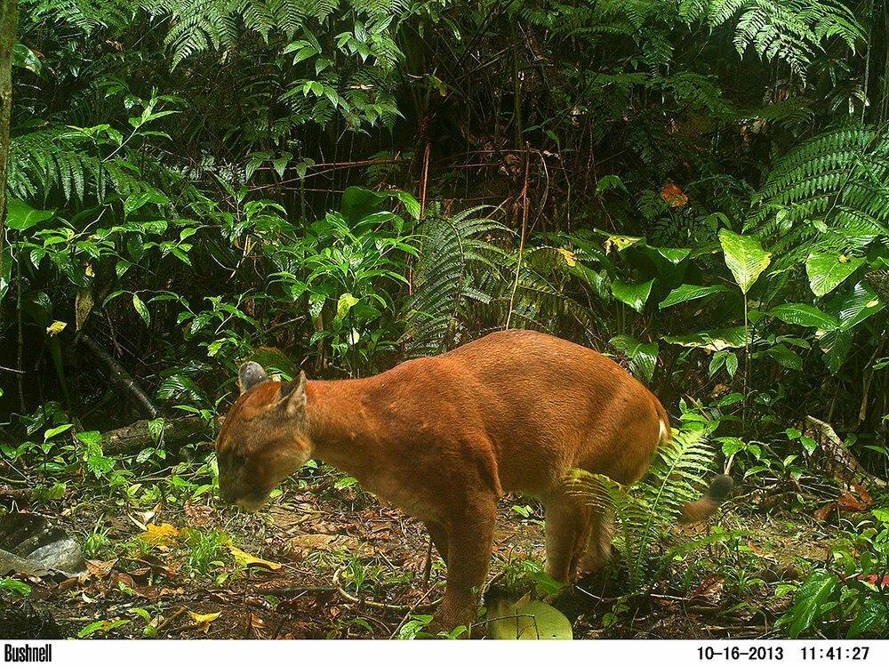 RPPN Salto Morato, Reserva Particular do Patrimônio Natural Salto Morato, imagem de um puma