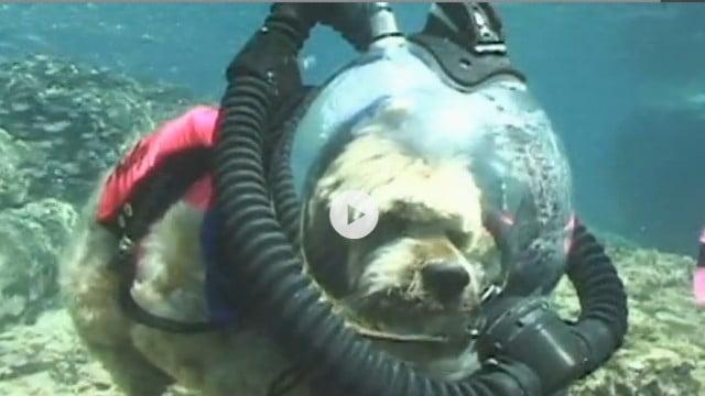 Vídeo: Cães mergulhadores com equipamento Scuba
