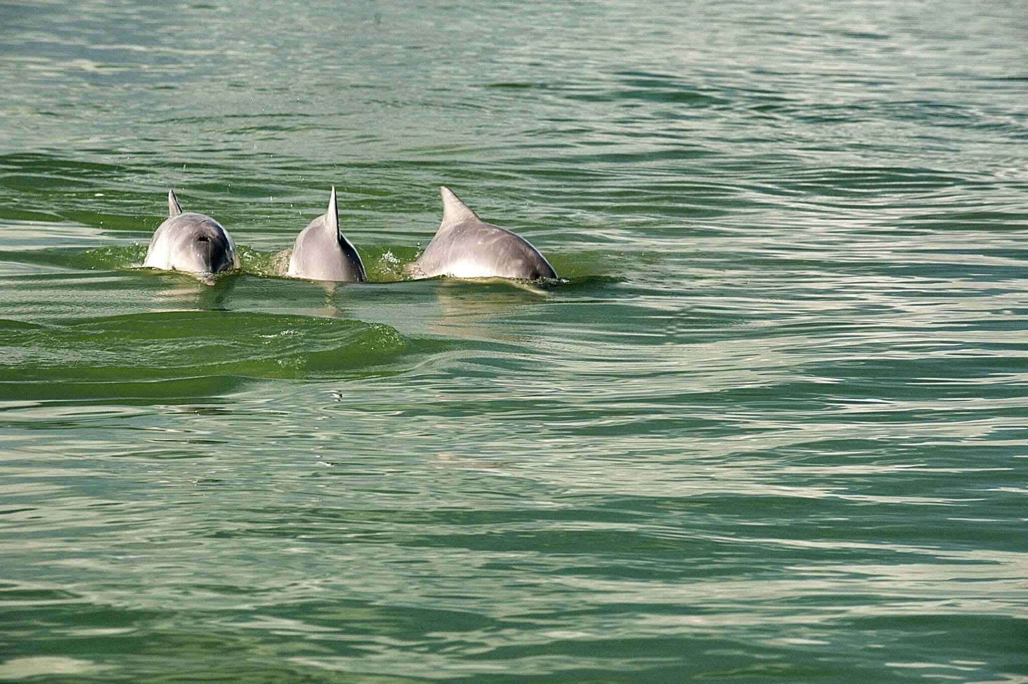 A falta de áreas protegidas no litoral brasileiro, imagem boto cinza em anhatomirim