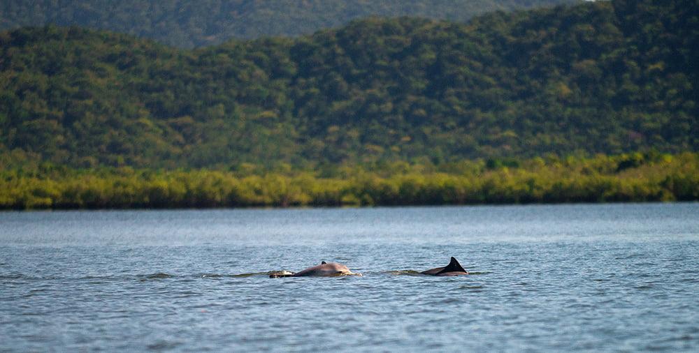 imagem de botos-cinza-Parque Nacional do Superaguii