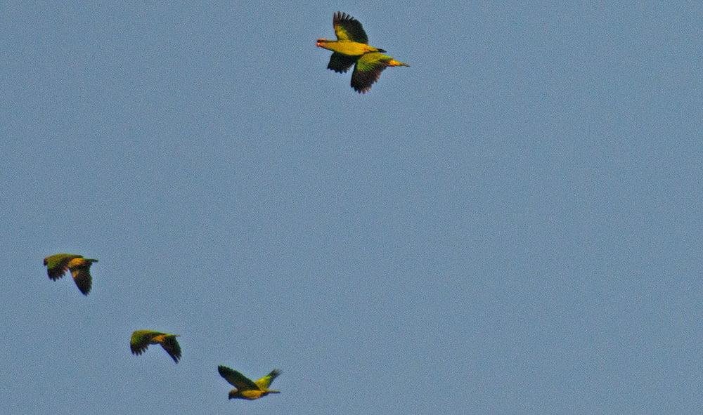 imagem de papagaio de cara-roxa-Parque Nacional do Superagui