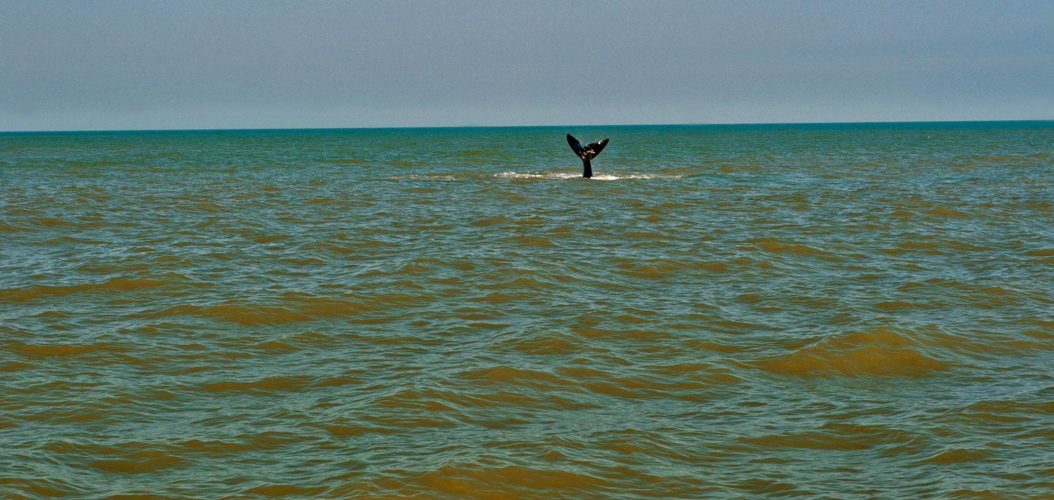 A falta de áreas protegidas no litoral brasileiro, imagem cauda apa baleia franca