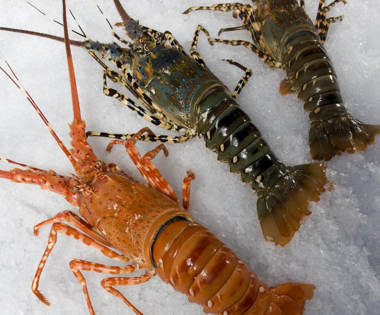 Crise na exportação de lagosta, imagem lagosta