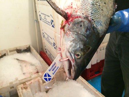 salmão selvagem, imagem de salmão