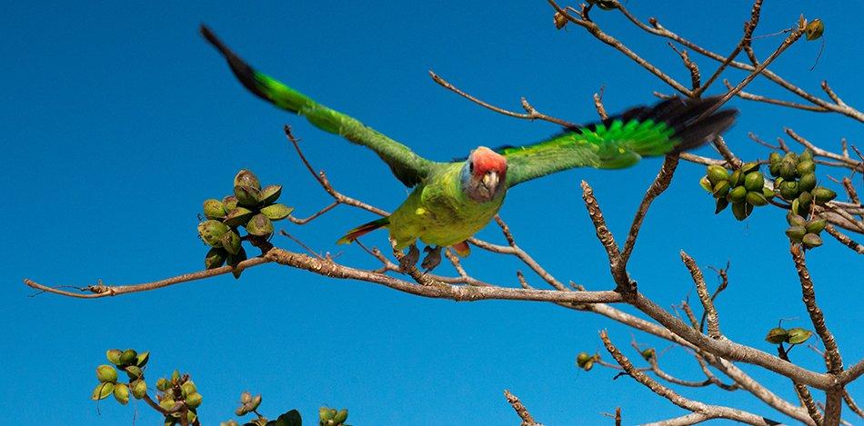 papagaio-cara-roxa-APA Cananéia – Iguape – Peruíbe