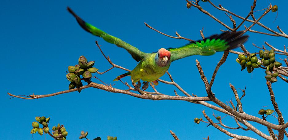 Trailer sobre o Parque Nacional do Superagui, imagem de papagaio cara roxa