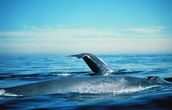 População de Baleia Azul volta ao normal na Califórnia