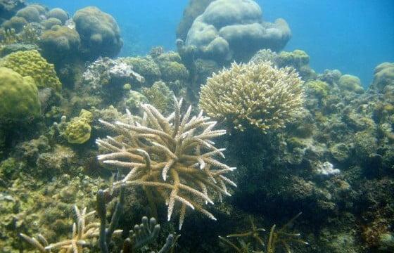 Berçário de corais pode ajudar a salvar o mar do Caribe