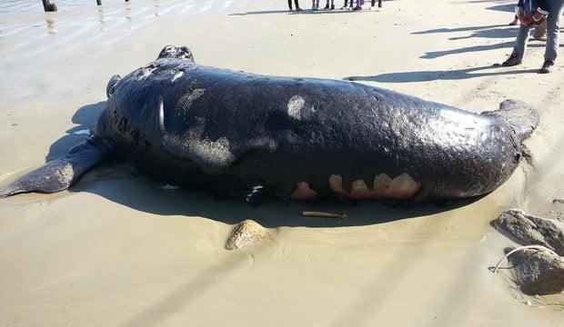 Filhote de baleia encontrado morto em Florianópolis