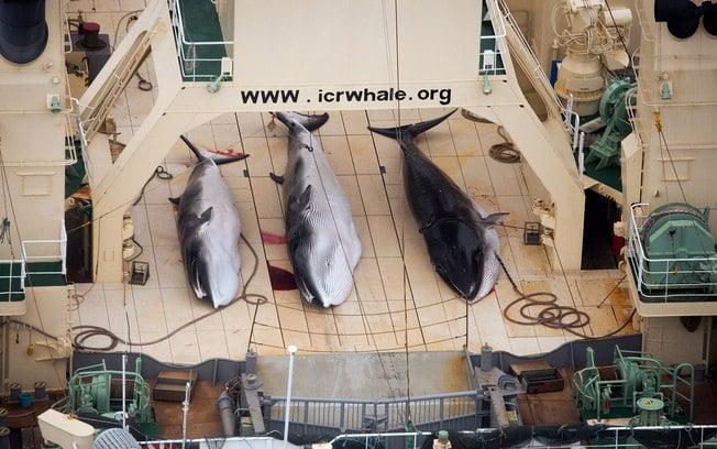 Japão vai retomar caça às baleias em 2015,imagem baleias mortas em convés de navio