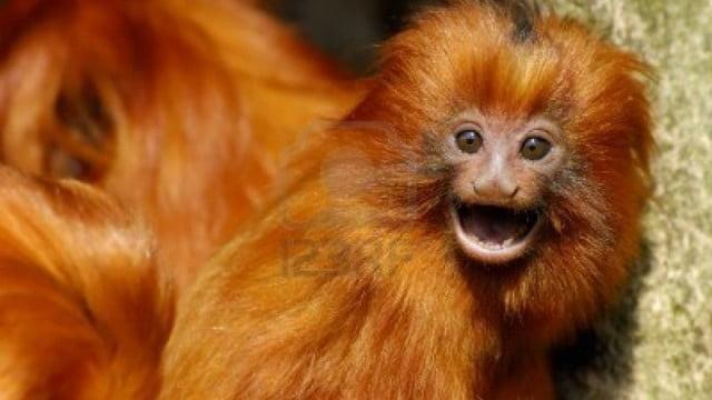 Litoral do Rio é paraíso para micos-leões
