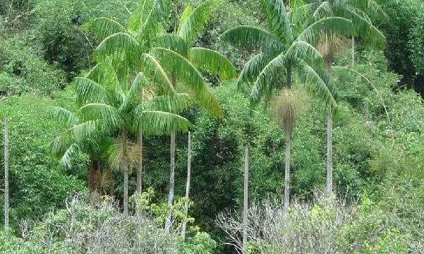 Palmeira Juçara ameaçada por sua espécie híbrida