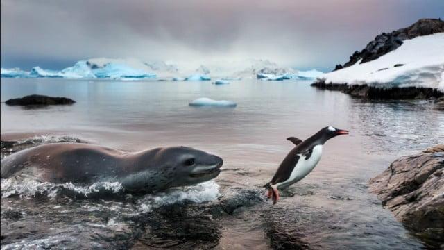 Foto de pinguim escapando de foca vence concurso de vida selvagem