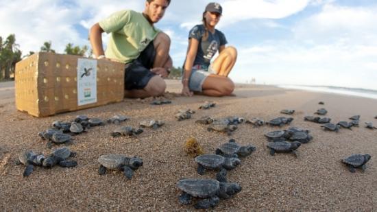 Projeto Tamar , imagem de tartarugas recém nascidas na praia