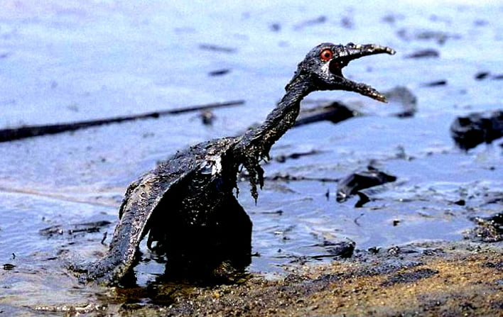 Recursos marinhos, imagem de ave marinha -envolta em petróleo