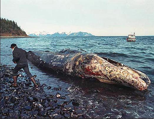 Recursos marinhos, imagem de baleia morta coberta de petróleo