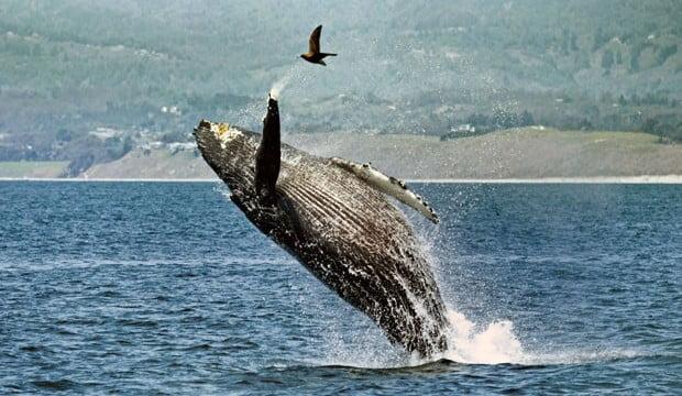 Foto espetacular mostra salto de Jubarte que quase atinge gaivota